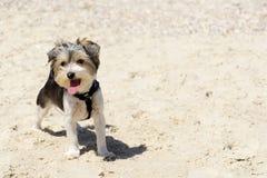 在海滩的逗人喜爱的Biewer约克夏狗小狗 免版税库存照片