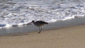 在海滩的野生生物 股票录像