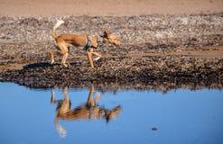 在海滩的野生podenco bronw狗与反射在watte 免版税库存照片
