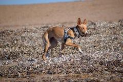 在海滩的野生podenco bronw狗 库存图片