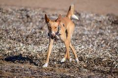 在海滩的野生podenco bronw狗 库存照片