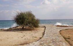 在海滩的金合欢树 库存照片