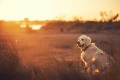 在海滩的金毛猎犬在日落 免版税库存照片