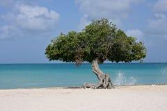 在海滩的鞣科芸实结构树 图库摄影