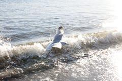 在海滩的飞行海鸥 免版税图库摄影