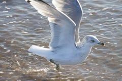 在海滩的飞行海鸥 库存照片