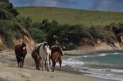 在海滩的马 免版税图库摄影