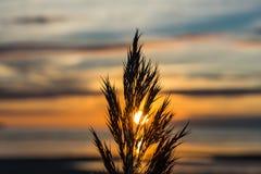 在海滩的高草在日落 免版税库存照片