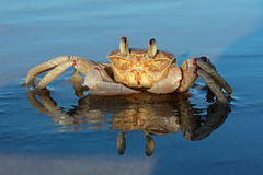 在海滩的鬼魂螃蟹 免版税库存照片
