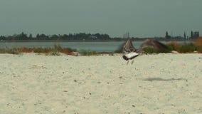 在海滩的鸟与慢动作射击 股票视频