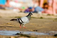 在海滩的鸽子 库存图片