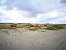 在海滩的黄牛 图库摄影