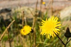 在海滩的黄色花 免版税库存图片