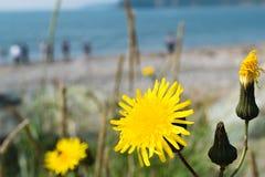 在海滩的黄色花 免版税库存照片