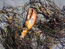 在海滩的龙虾爪与海草 免版税库存照片
