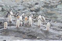 在海滩的Chinstrap企鹅 库存照片