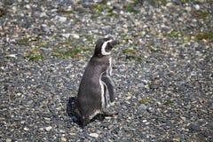 在海滩的Magellanic企鹅在小猎犬海峡的,阿根廷海岛 免版税库存照片