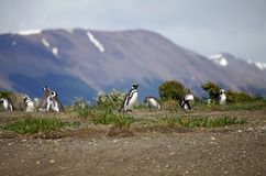 在海滩的Magellanic企鹅在小猎犬海峡的,阿根廷海岛 库存图片