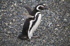 在海滩的Magellanic企鹅在小猎犬海峡的,阿根廷海岛 免版税图库摄影