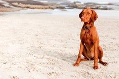 在海滩的Vizsla 免版税库存图片