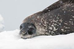 在海滩的Weddell密封 免版税图库摄影