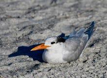 在海滩紧贴的皇家燕鸥 库存图片