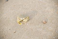 在海滩走的螃蟹 库存照片