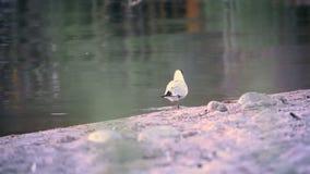 在海滩附近的海鸥奔跑寻找食物的早晨 股票视频