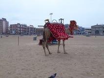 在海滩附近的骆驼乘驾 库存照片