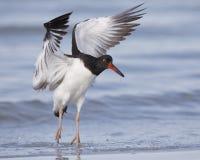 在海滩-佛罗里达的美国蛎鹬着陆 免版税库存图片