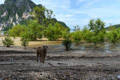 在海滩Trang,泰国的一条狗 免版税库存照片