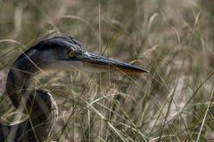 在海燕麦的伟大蓝色的苍鹭的巢 库存照片