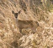 在海燕麦的白尾小鹿鹿 库存照片