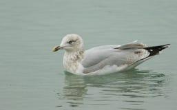 在海狩猎的少年鲱鸥鸥属argentatus游泳食物的 库存图片