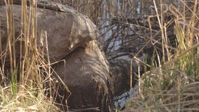 在海狸牙,在狂放的动物帮助下的下落的树,室外 股票视频