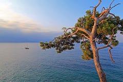 在海的一棵孤立杉树 免版税图库摄影
