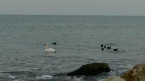 在海的天鹅 影视素材