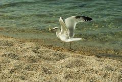 在海的岸的鸥 免版税库存照片