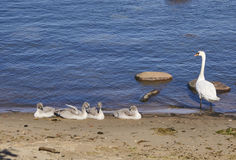 在海的幼小天鹅 免版税库存照片