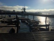 在海的海狮 免版税库存图片