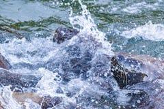 在海的海狼 免版税库存照片