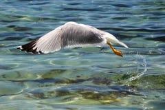 在海的海鸥飞行 免版税库存照片