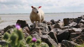 在海的绵羊 股票视频