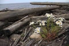 在海的背景的雏菊 图库摄影