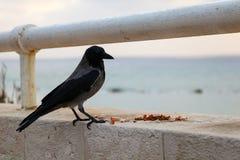 在海的背景的黑和灰色掠夺 免版税库存照片