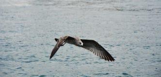 在海的飞行海鸥 库存照片