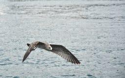 在海的飞行海鸥 库存图片