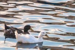 在海的鸭子 免版税库存图片