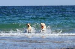 在海的Labradors 免版税图库摄影