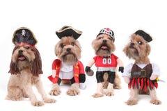 在海盗和橄榄球服装的滑稽的多条狗 库存照片